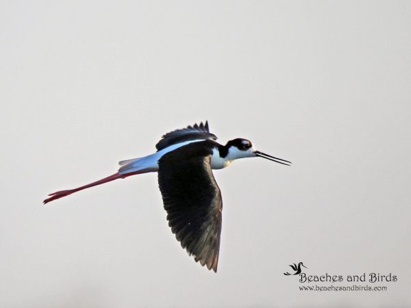 Black Necked Stilt in Flight