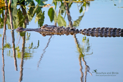American Alligator Safety