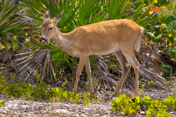 Endangered Key Deer can only be found in the Florida Keys