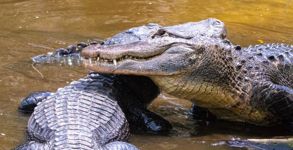 Visiting Florida? What you need to know about Alligator Mating Season.