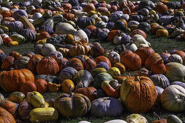 Fields of Pumpkins