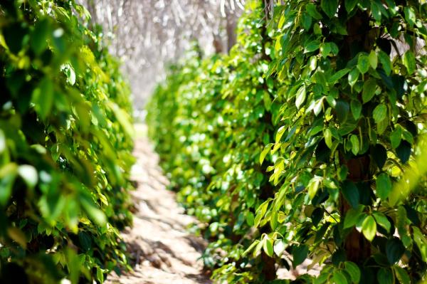 Pepper Plants in Vcorp Farm