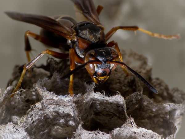 Brown Paper Wasp