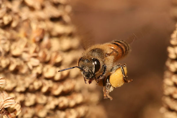 European Honey Bee