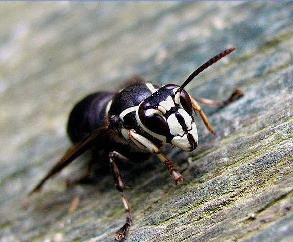 Bald-faced Hornet, White-faced Hornet