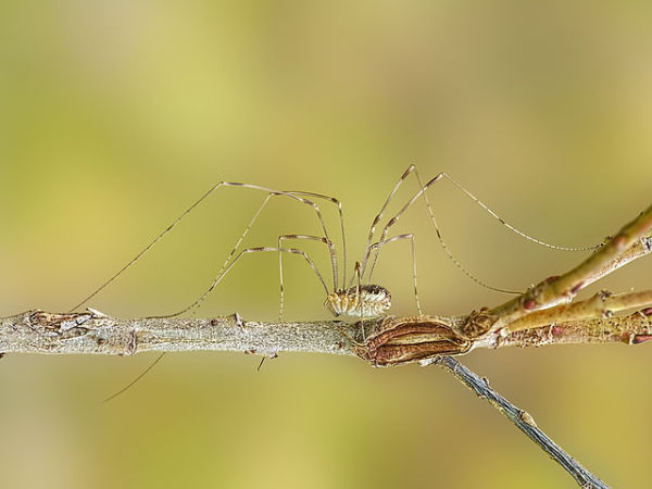 Daddy-Long-Legs Spider