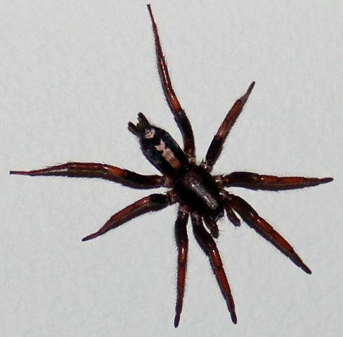 Eastern Parson/Ground Spider
