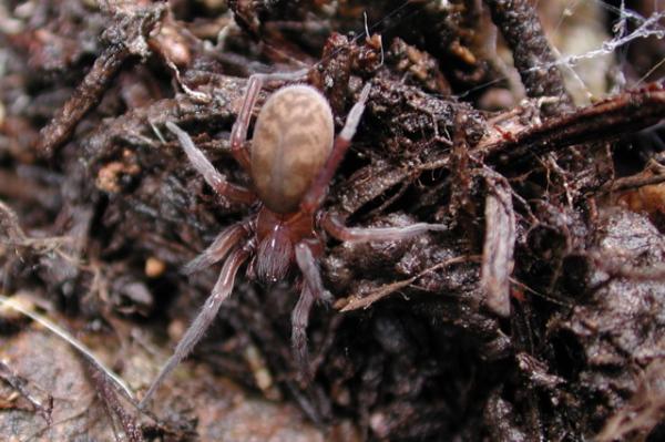 Hacklemesh Spider