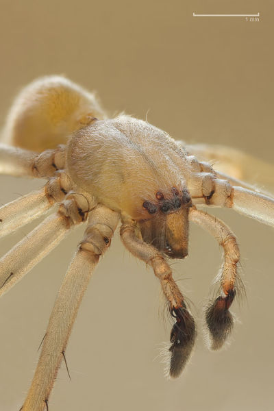 Long-Legged Sac Spider