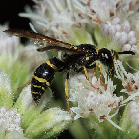 Potter Wasp, Mason Wasp
