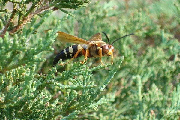 Eastern Cicada Killer, Giant Cicada Killer