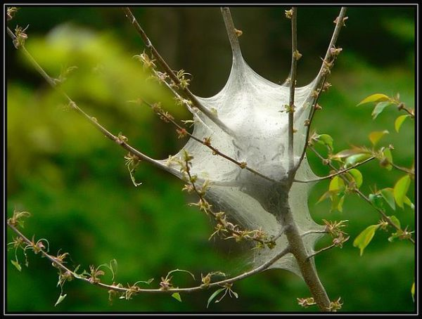 Eastern Tent Caterpillar - Tent