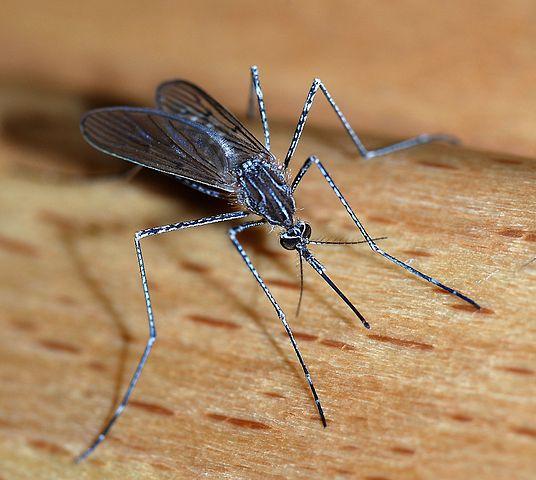 Culicinae Mosquito