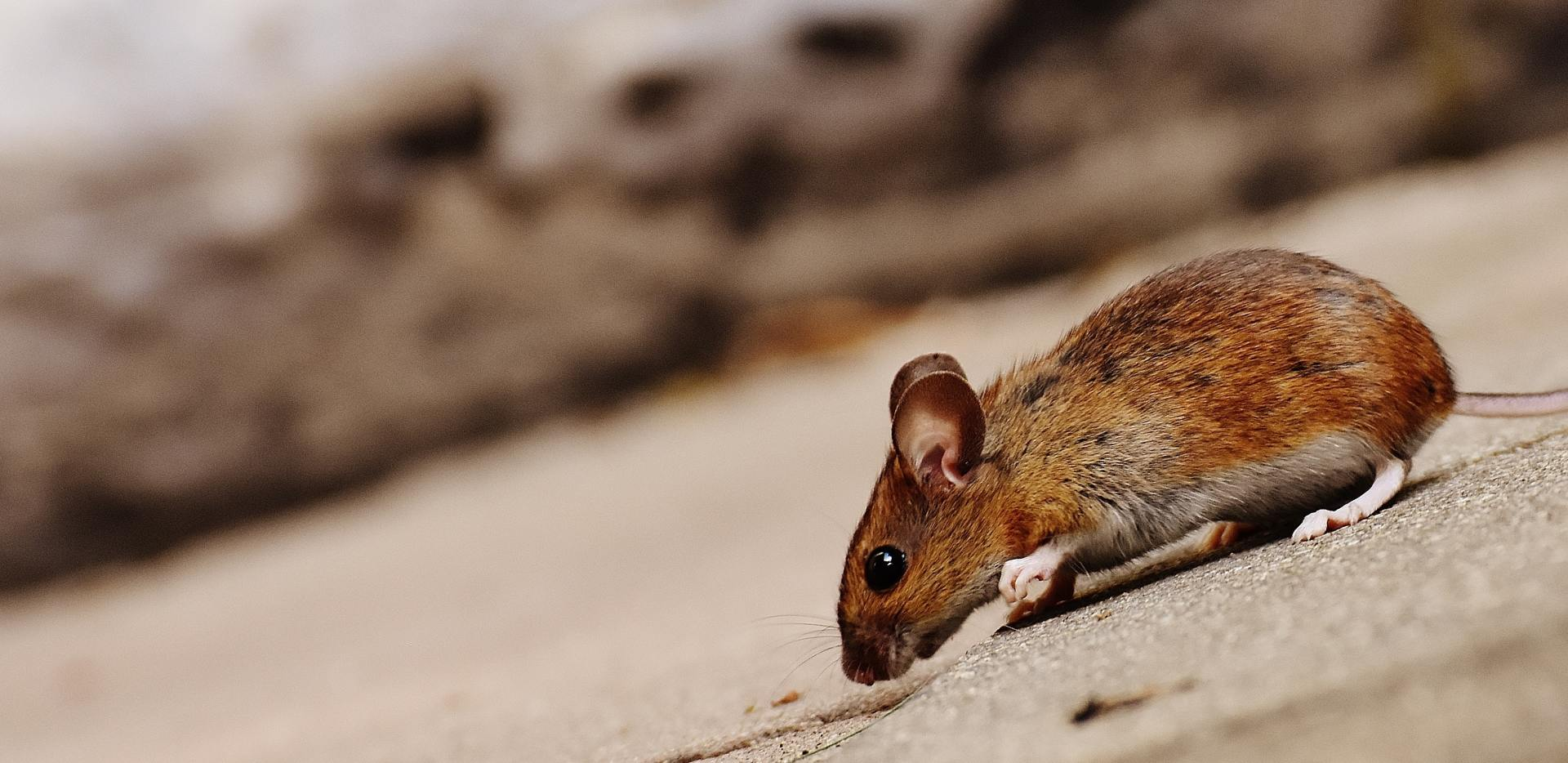 Keep Mice out of your home with our Trapping and Home Exclusion service!