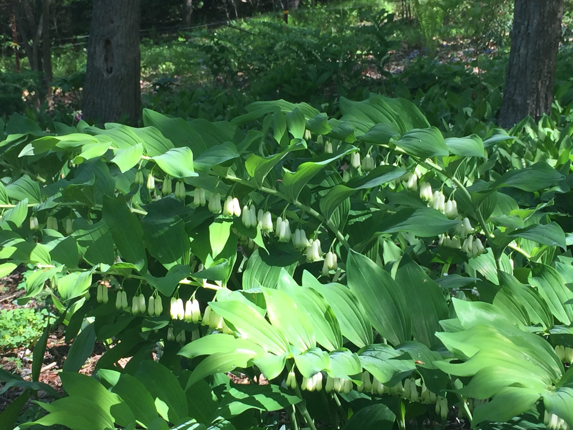 Native Solomon's Seal