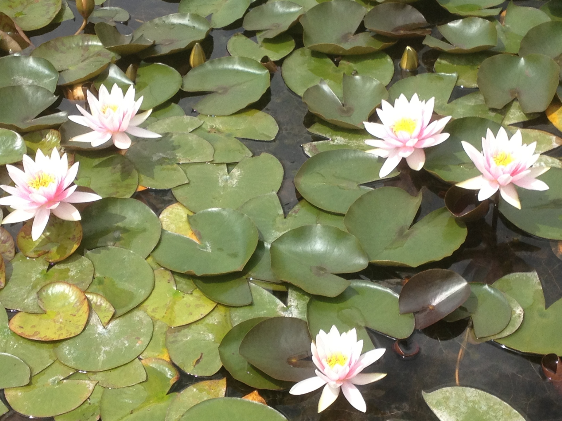Water Lilies at Latour Marliac