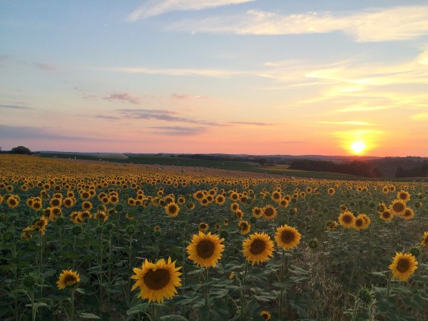 Sunflowers at Sunset Faysselle
