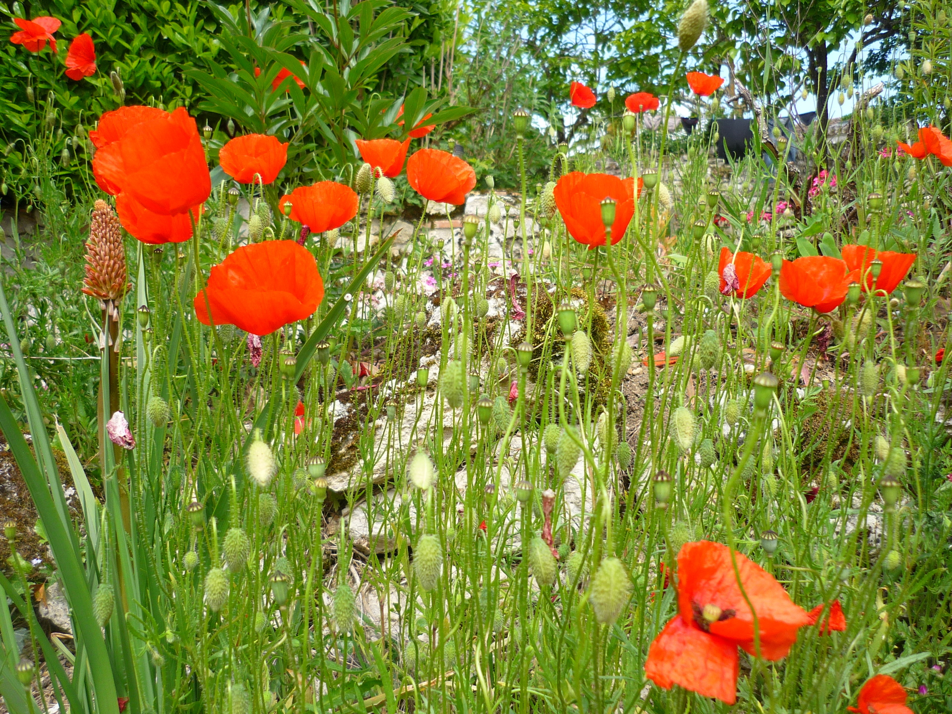 Faysselle Poppies