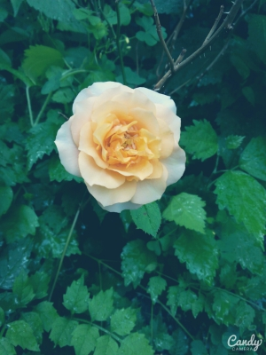 orange rose, garden, flower,rose