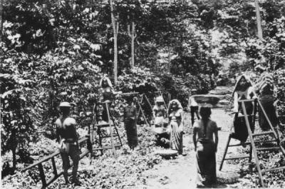 Hombres y mujeres indígenas trabajando en fincas de café en 1875