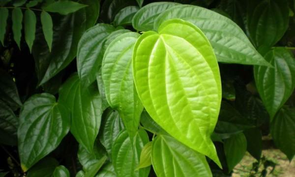 Manfaat daun sirih untuk mata