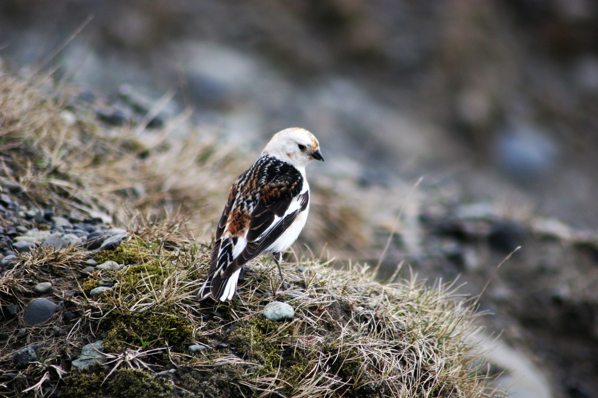 The Snow Bunting for #ShowTheLove