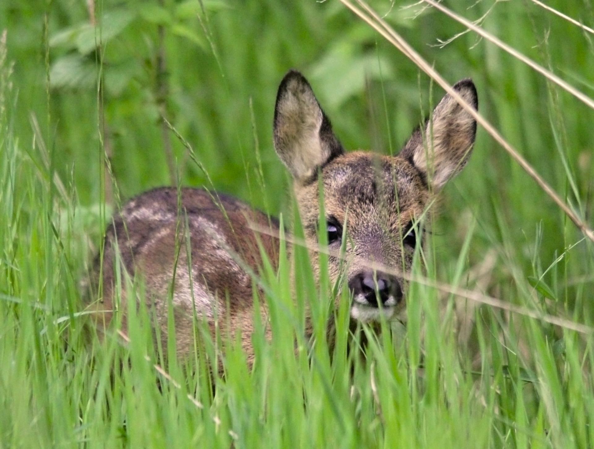 Roe deer baby