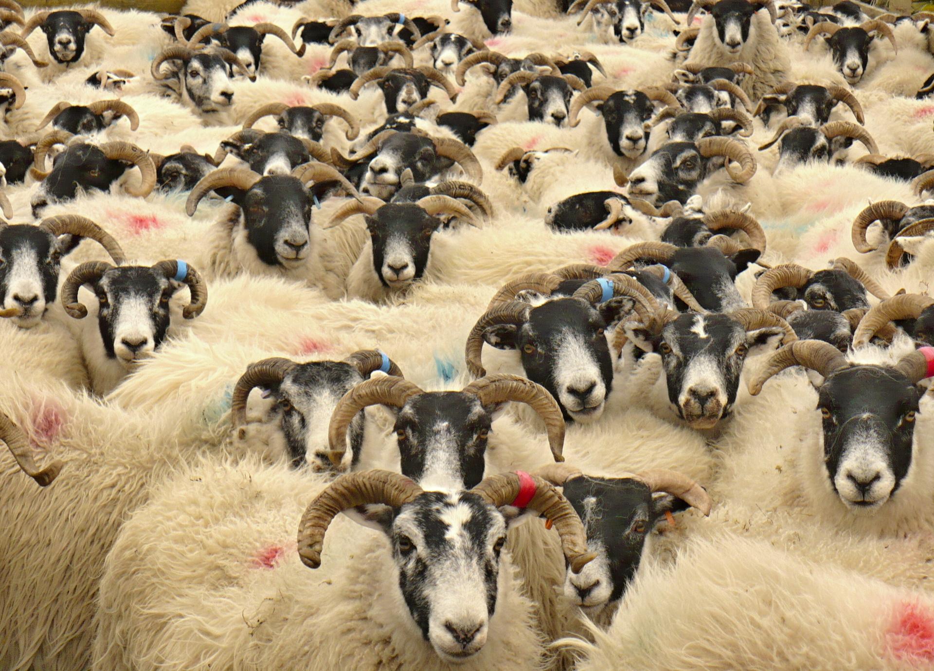 Sheep, sheep, sheep, ...