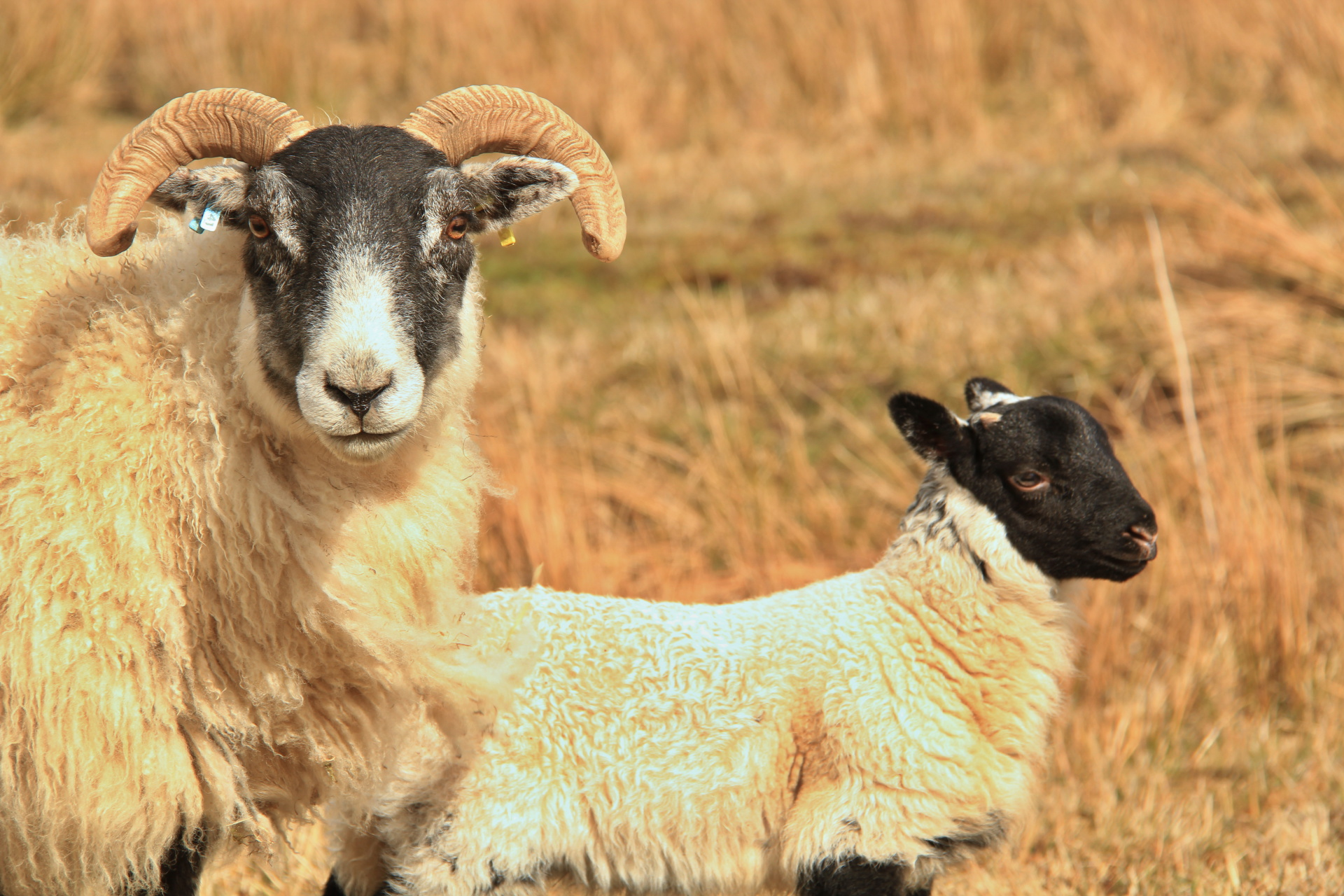 Scottish black face sheep and lamb