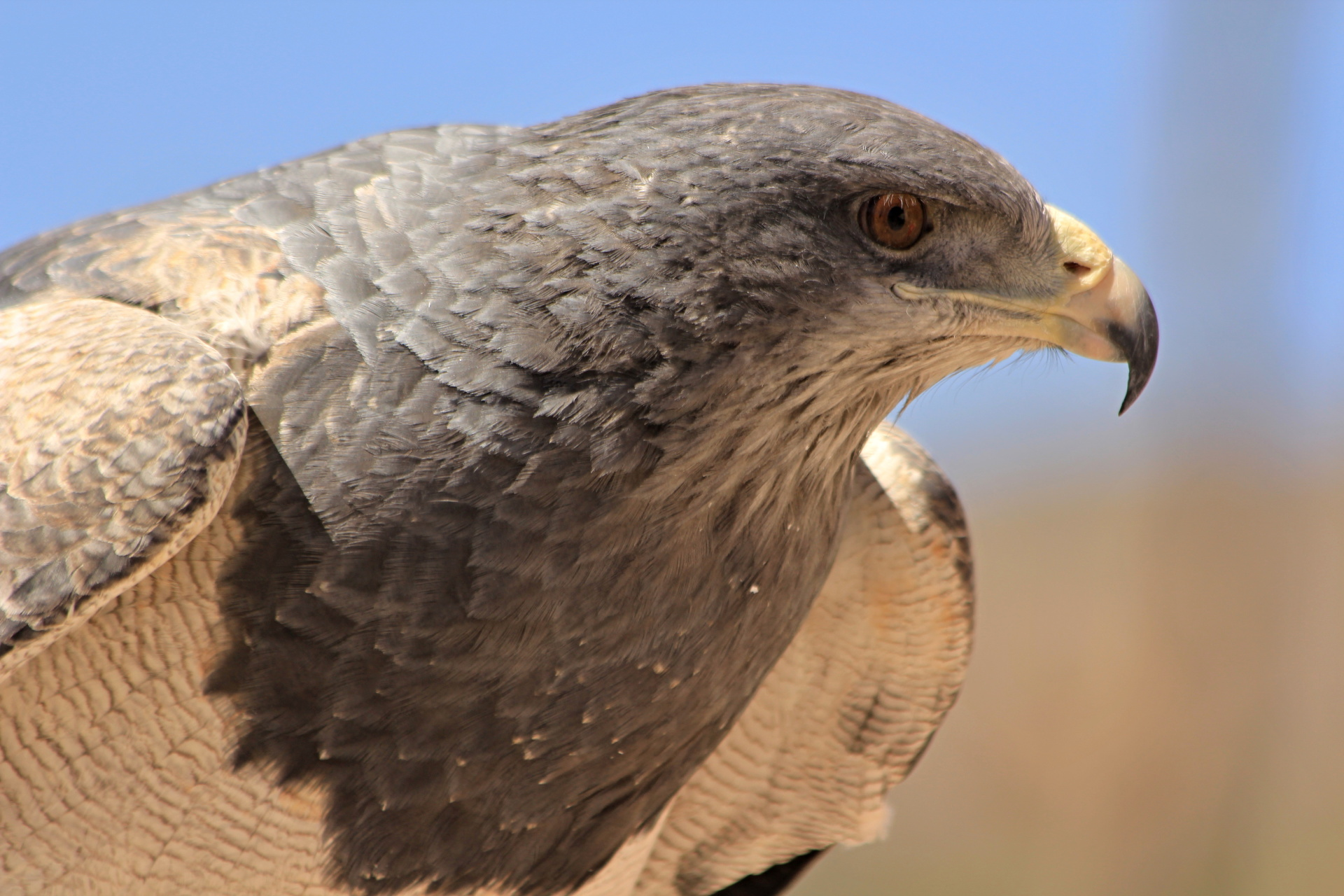 Eagle in Colca canyon , Peru
