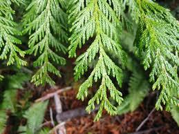 Cō-Impact Sourcing® Arborvitae & Nootka