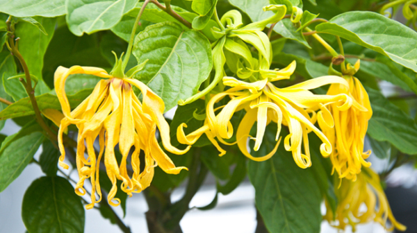 Ylang Ylang Oil Uses and Benefits: Essential Oil Spotlight