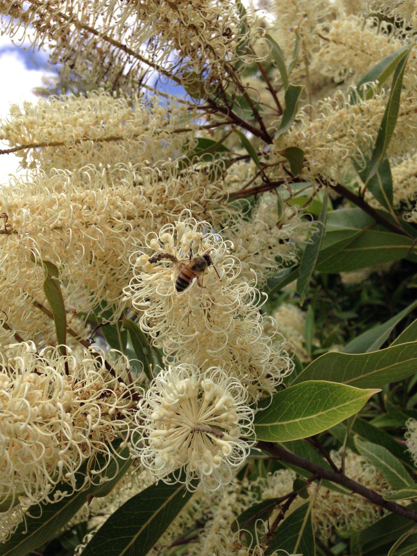 Bee on Ivory Curl Geebung