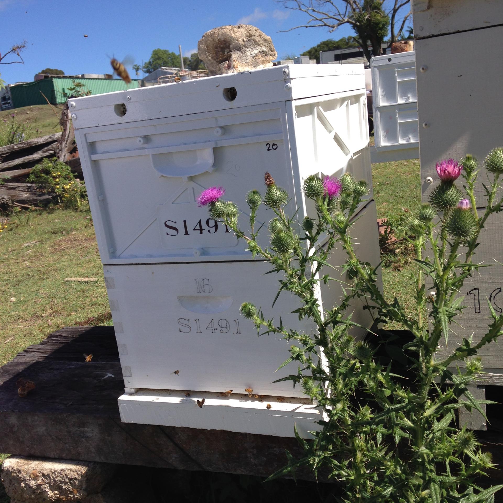 Hive with thistle Geebung queensland Honeyworks