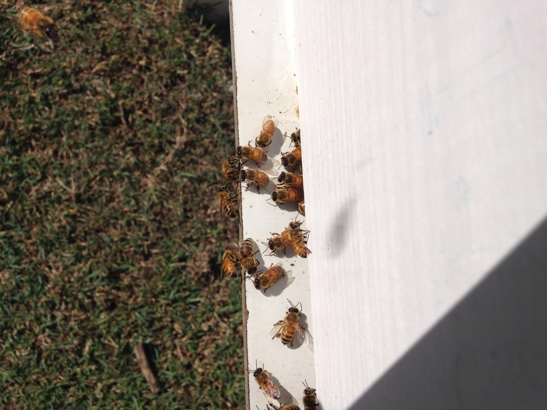 Bees Honey HoneyWorks queensland hive