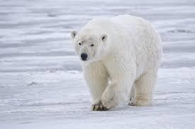 8-Alaska Polar Bear