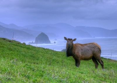 25-Canon Beach Oregon-Elk