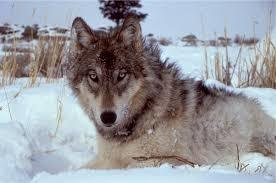 39-Oregon Wolf