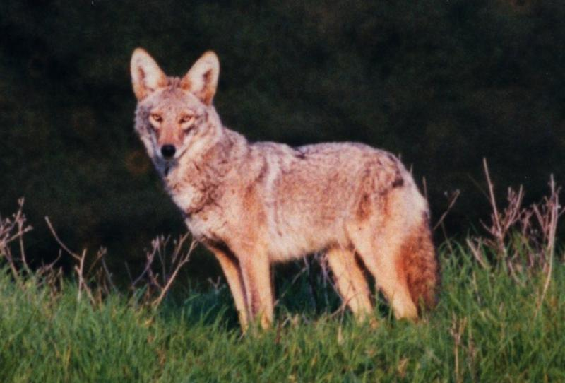 Coyotes have raised pups in the Fairview Open Space