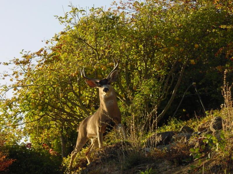 Grand Buck