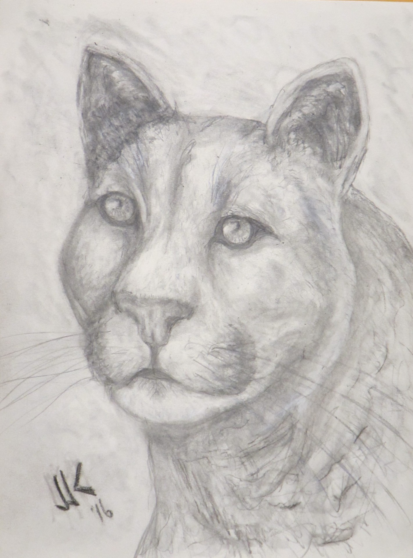 Pencil drawing of the head and shoulders of a mountain lion.