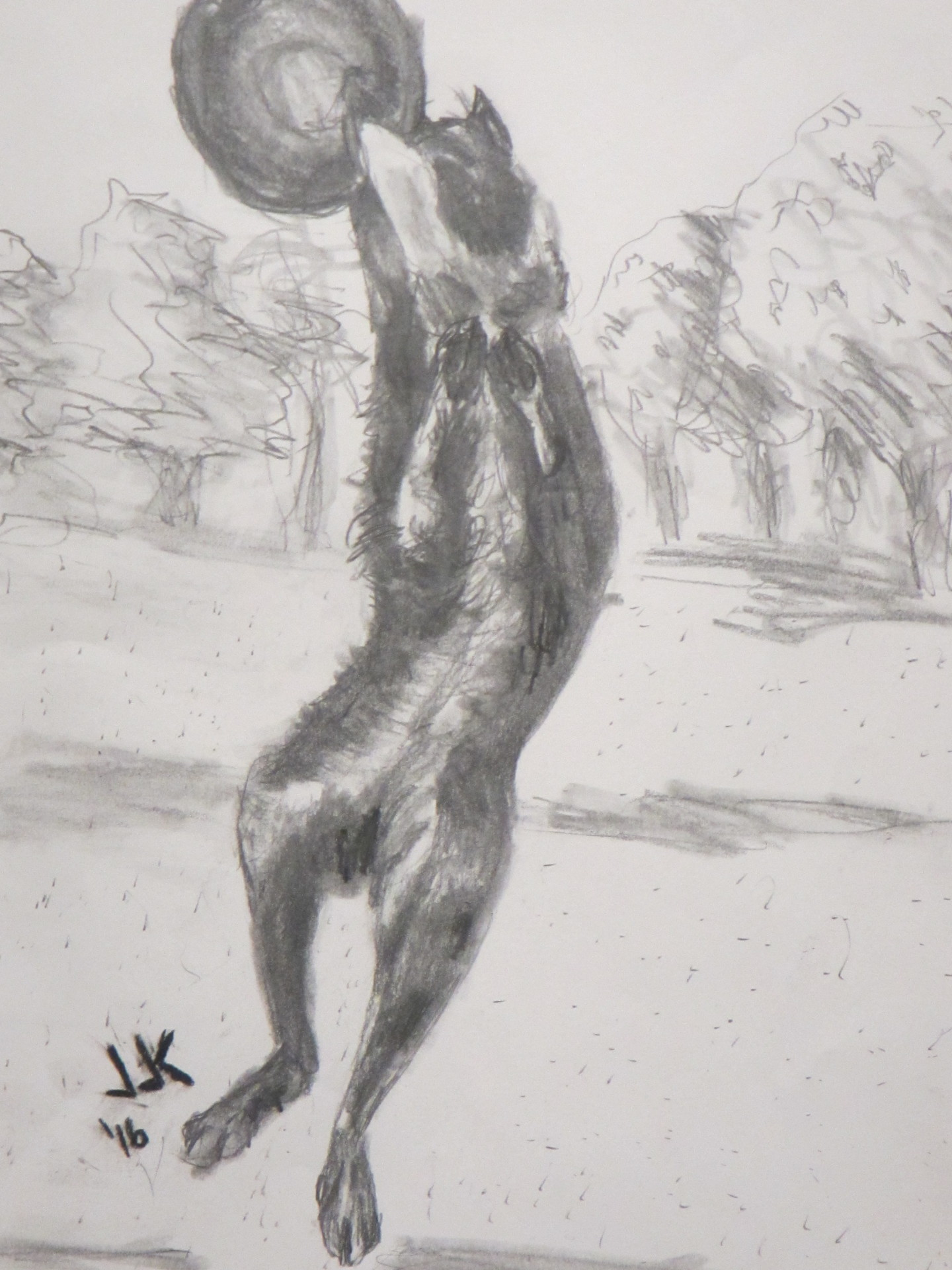 Pencil drawing of a border collie jumping to catch a frisbee.