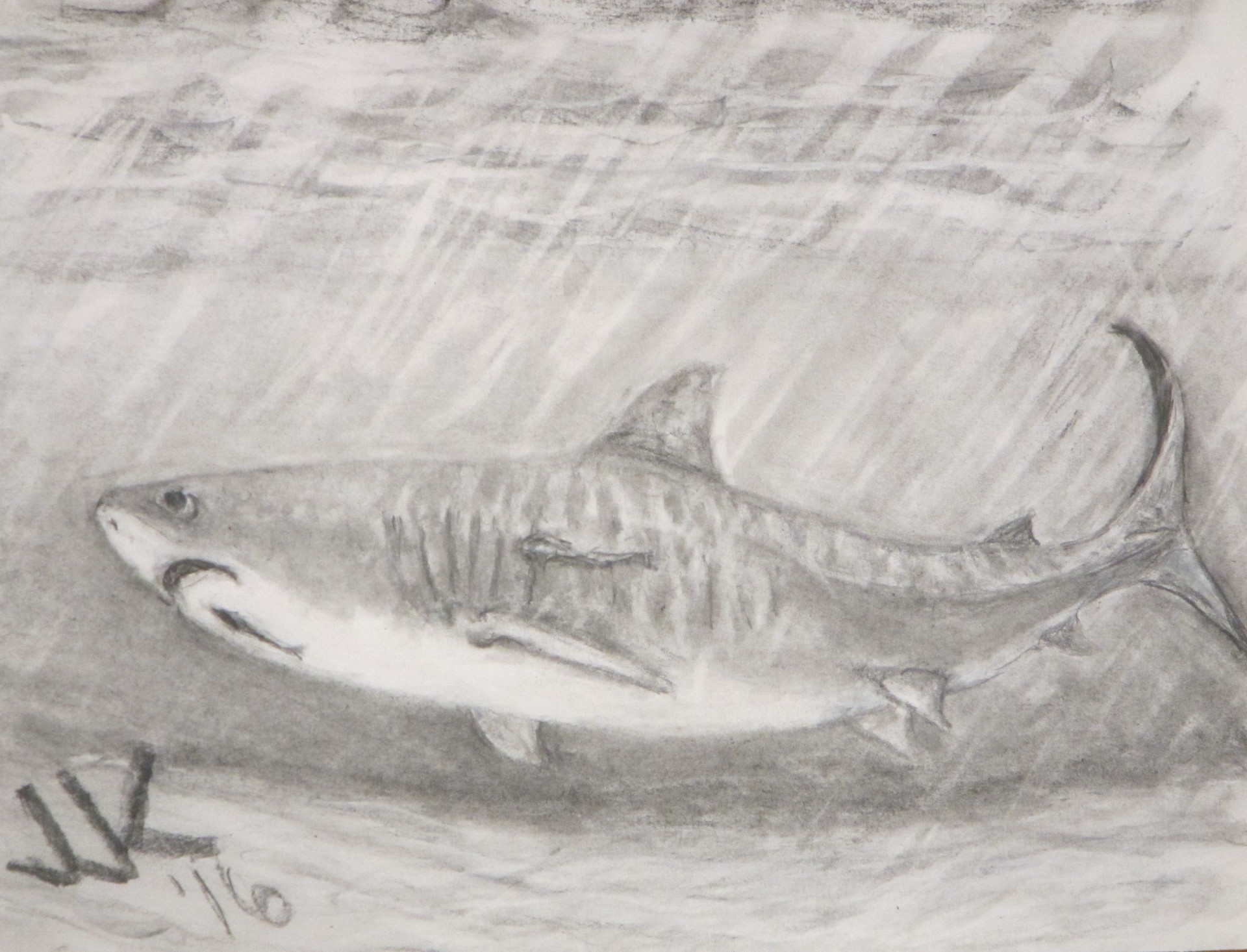 Pencil drawing of a tiger shark under water.