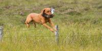 Fox Red Labrador