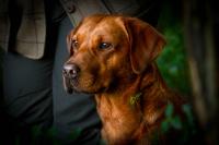 Fox Red Labrador field trial