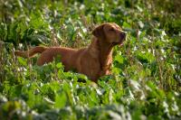 Fox Red Labrador field trialling