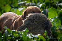Fox Red Labrador retrieving hen pheasant