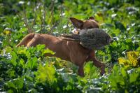 Fox Red Labrador field trials