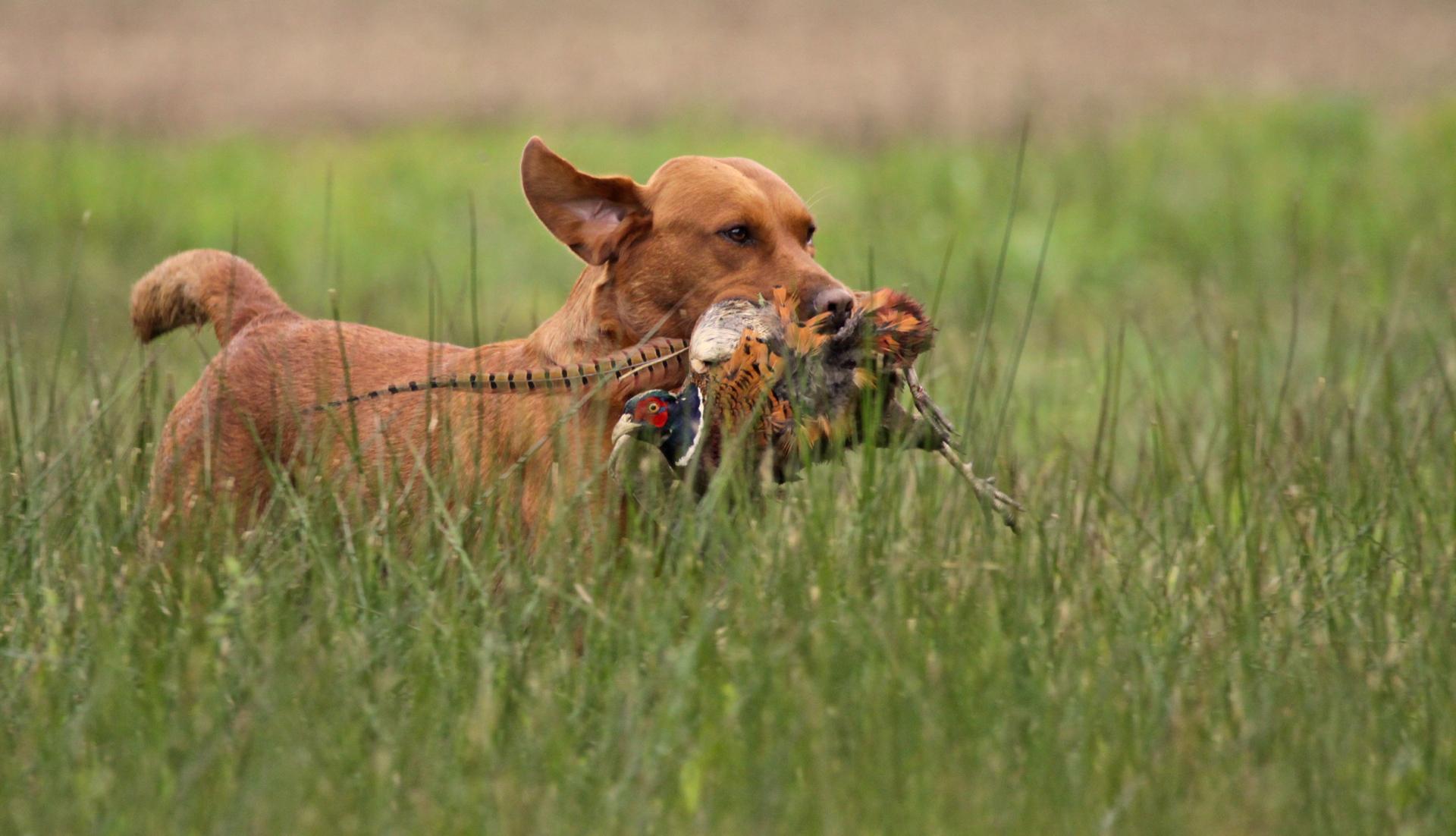 Fox Red Labrador winning novice field trial