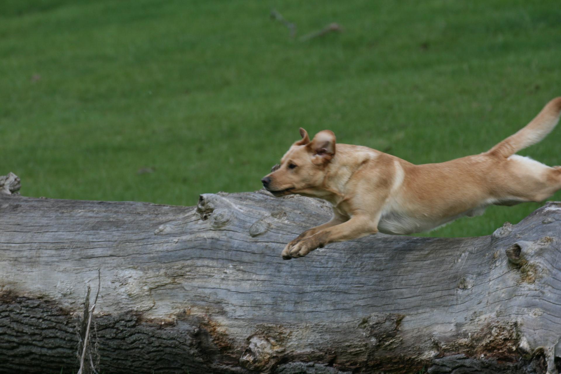 Dark yellow labrador